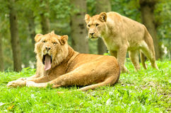 African Lion Yawn Stock Photography