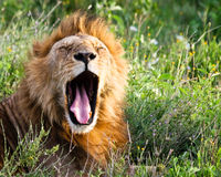 African Lion Yawning. Wild lion yawning among grass and flowers in Serengeti National Park, Tanzania Stock Image