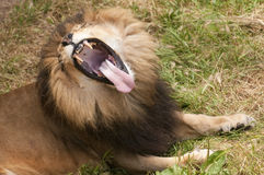 African Lion yawning Royalty Free Stock Images