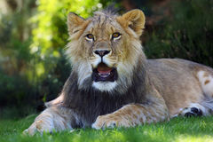 African lion , young male in grass. The african lion & x28;Panthera leo& x29; young male lying on green grass in captivity stock photos
