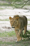 African Lion. A young male African Lion (Panthera leo) with concenrtrated stare, just starting to hunt Stock Photo