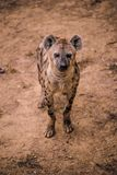 African Hyena in Zoo stock photography