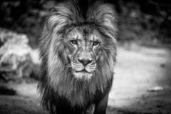 African Lion in Zoo royalty free stock photos