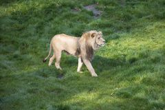 African lion in the zoo; Specie Panthera leo family. Of Felidae royalty free stock image
