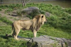African lion in the zoo; Specie Panthera leo family. Of Felidae stock image