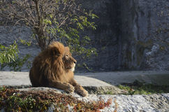 African Lion Stock Photography