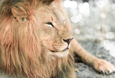 African lione lying close-up Royalty Free Stock Photography