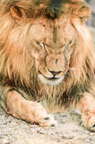 African lione lying close-up Stock Image