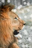 African lione lying close-up Royalty Free Stock Photo