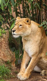 African Lioness. Portrait of Alert African Lioness stock images