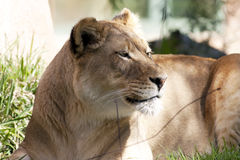 African lioness. Relaxing in the shadow royalty free stock images