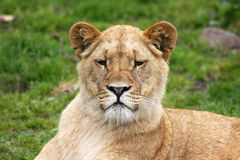 African lioness. Looking straight into the camera stock images