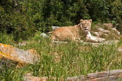 African Lioness. A photograph depicts a resting African lioness royalty free stock photography