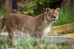 African Lioness. Photograph depicts an African lioness royalty free stock photo