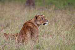 African Lioness Stock Photos