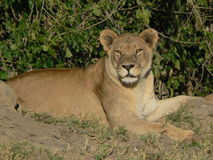 African Lioness. A beautiful African lioness Stock Photos