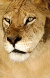 African Lioness. Closeup image of an african lioness showing details Royalty Free Stock Photography