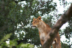 African lioness Stock Images