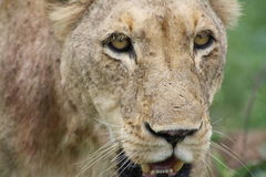 African lioness closeup looking at you. In South Africa royalty free stock photography