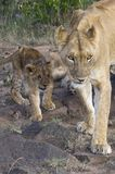 African lioness with cub. Lioness with three month old cub on the move walking  in direction of camera  in  Masai Mara National Park, Kenya Royalty Free Stock Photo