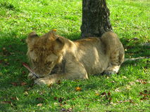 African lioness cub chewing on a bone in the shade Royalty Free Stock Images