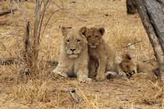 African Lioness with cubs Stock Photography