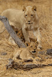 African Lioness with cubs. Adult African Lioness resting and playing with cubs stock photos