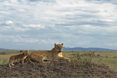 African lioness with cubs. Lioness with two three month old cubs resting on top of termite mound in  Masai Mara National Park, Kenya Royalty Free Stock Images