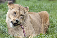 African Lioness eating meal Stock Images