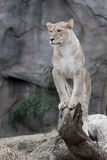 African Lioness. Female African Lion on fallen tree branch looking out royalty free stock photography