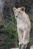 African Lioness. Female African Lion on fallen Tree Branch Looking out stock photo