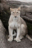 African Lioness -. Female African Lion on fallen tree branch looking out royalty free stock image