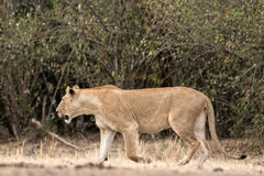 African lioness Royalty Free Stock Photos