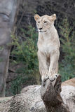 African Lioness - Image 2. Female African Lion on fallen tree branch looking out royalty free stock image