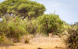 African lioness in Kenya stock images