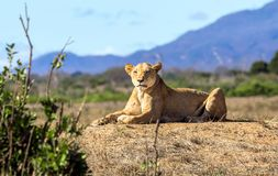 African lioness in Kenya royalty free stock images
