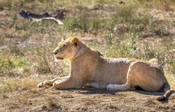 African lioness in Kenya royalty free stock photography