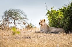 African lioness in Kenya stock photo