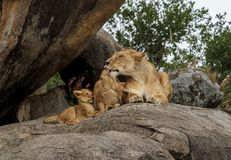 An African lioness on a kopje with her cubs. The East African lion Panthera leo melanochaita is a lion population in East Africa. In this part of Africa, lions stock images