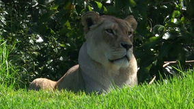 African lioness lay on green grass stock video footage