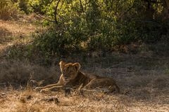 African Lioness Lying in Grasslands. African Lioness Lying in Brown and Dry Grasslands Stock Images