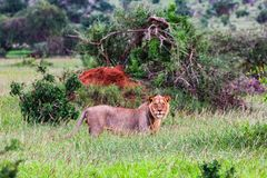 African lioness on the masai mara kenya. Africa stock images