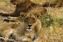 African Lioness One of the Big Five Stock Image