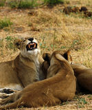 African Lioness One of the Big Five Stock Photos