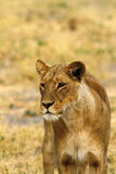 African Lioness Tawny Beauty stock photography
