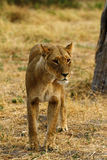 African Lioness One of the Big Five Royalty Free Stock Image