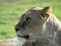 African Lioness - Panthera Leo Stock Photos