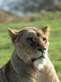 African Lioness - Panthera Leo royalty free stock photo