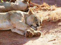 African lioness (Panthera leo) Royalty Free Stock Photos