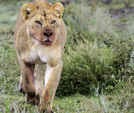 Lioness with a bloody muzzle Royalty Free Stock Photo